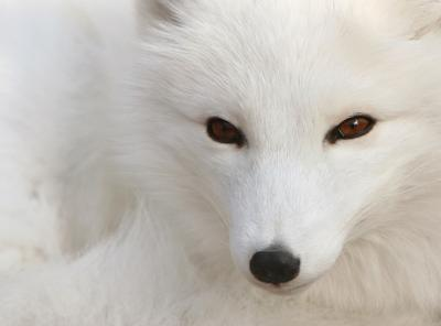 White Polar Silver Fox Photo