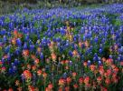 Field of Texas Paintbrush and Bluebonnets, Inks Lake State Park, Texas
