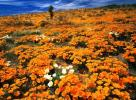 Mexican Gold Poppies, Cochise County, Arizona