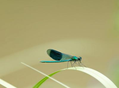 Little blue dragonfly