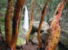 Madrone Trees and Barr Creek F ...